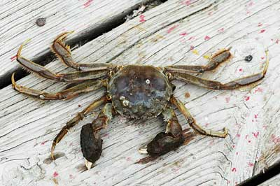 Mitten Crab Farming In China